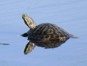 Red-eared slider (invasive)
