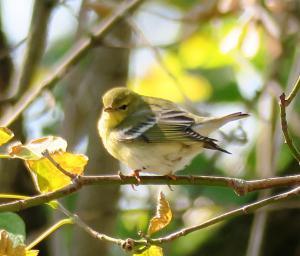 Blackpoll warbler (@ Tinicum)