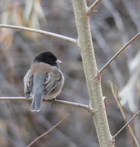 Dark-eyed Junco (Oregon)