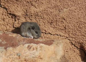 Kangaroo rat (?)