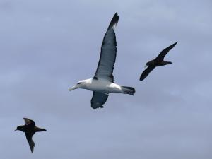 Shy albatross (adult)