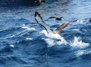 Shy Albatross (imm)