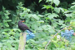 Eurasian Blackbird (Amsel)