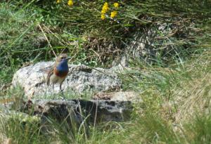 Common Bluethroat