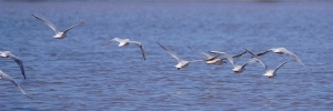 Slender-billed Gulls in flight
