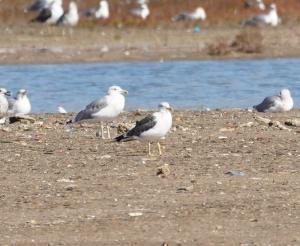 Yellow-legged and Lesser Black-backed Gulls
