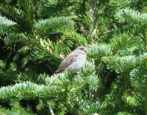 Dark-eyed (Gray-headed) Junco